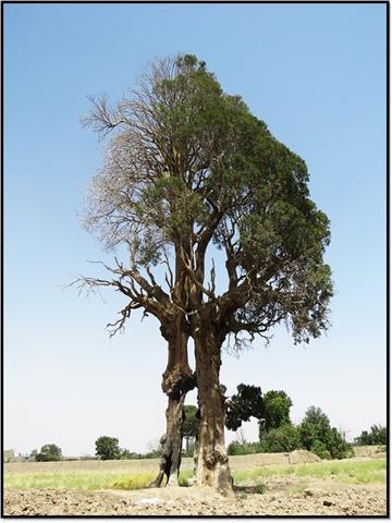 سرو کهک و چنار نایه قم در فهرست ملی ایران به ثبت رسید