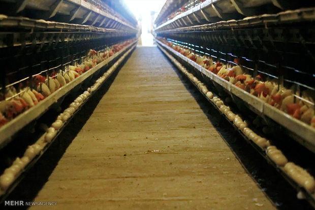 مازندران بازار رویاهای کشاورزی ویتنام، مرغ مازنی صادر می گردد