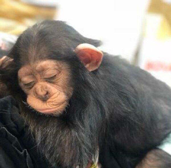 ویدئو ، مرگ در یک قدمی تنها بچه شامپانزه ایران ، آیا باغ وحش ارم حاضر به تامین شرایط زندگی باران می گردد؟