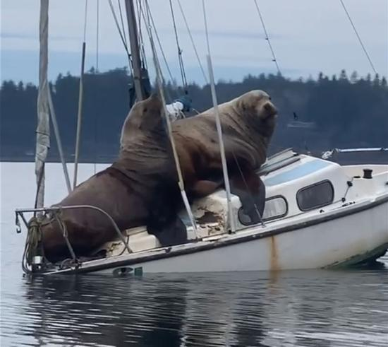 ویدئوی بامزه از قایق سواری دو شیر دریایی