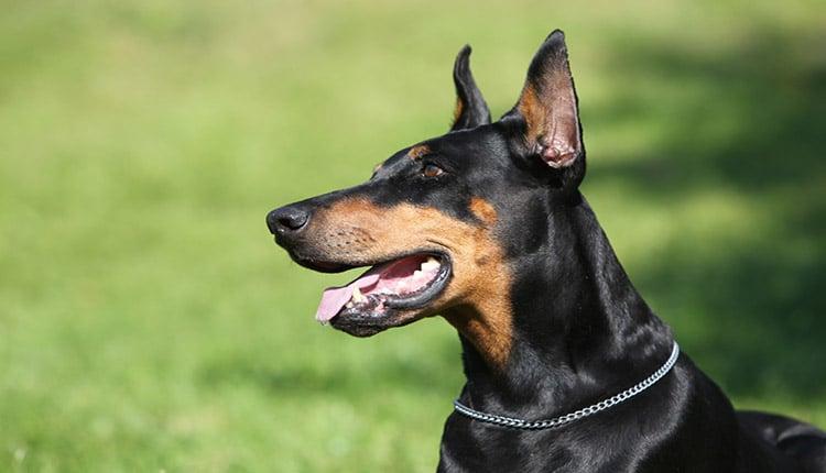 تعبیر خواب سگ نگهبان چیست؟ احساس نا امنی یا دشمن؟