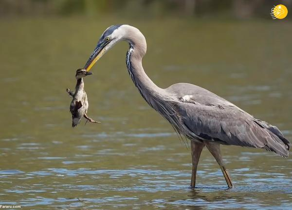 حواصیل یک جوجه اردک شکار کرد
